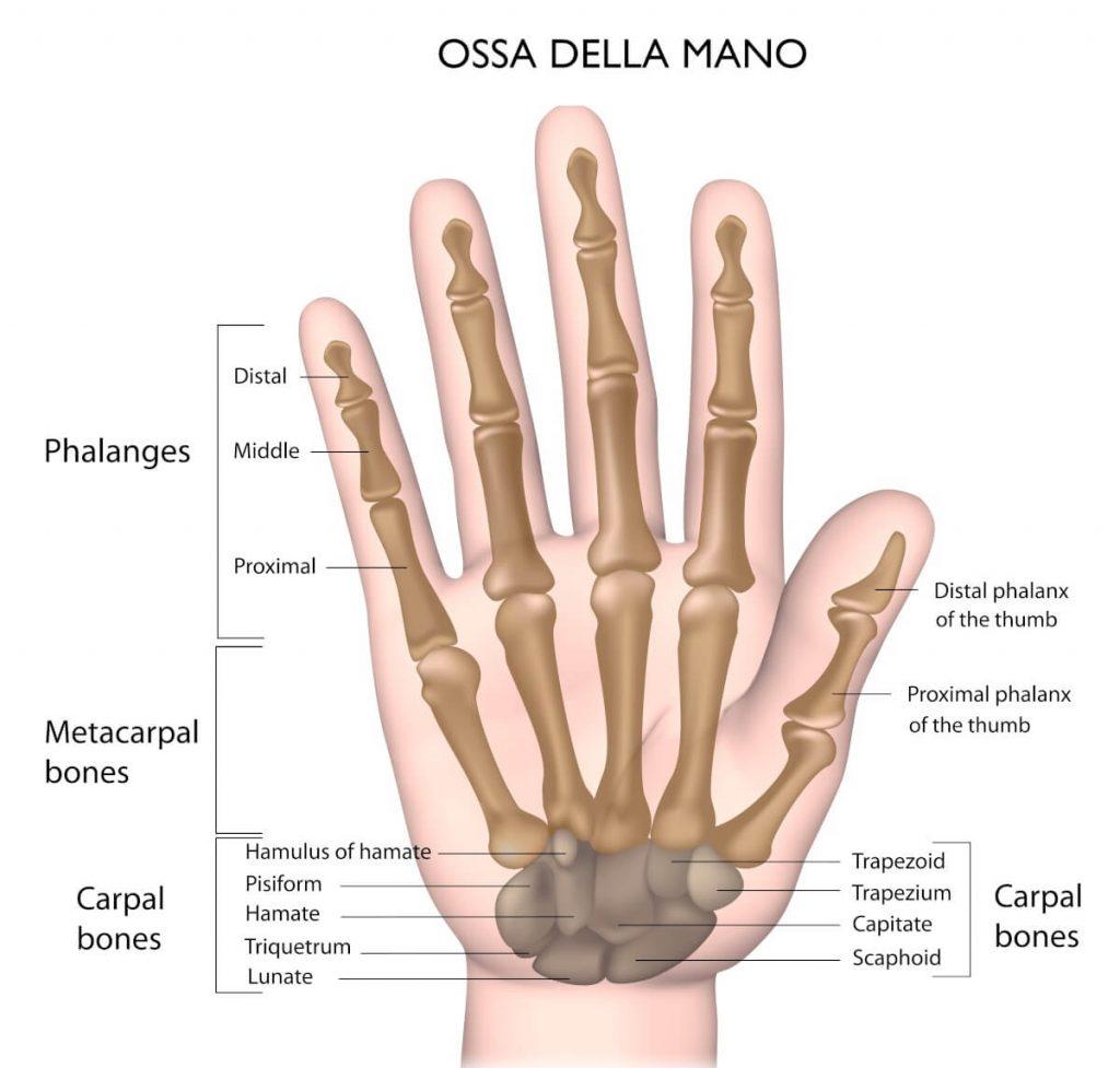 Le ossa della mano